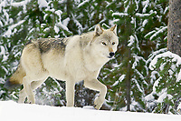 Wild Yellowstone Gray Wolf (Canis lupus).  Yellowstone National Park.  This is an alpha female.  Winter.
