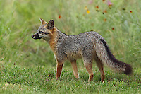 Female Gray Fox, late spring in Central Texas.