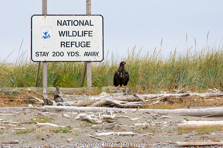 A juvenile bald eagle appears to stand guard next to a warning sign on the Protection Island National Wildlife Refuge. Protection Island National Wildlife Refuge.Protection Island Refuge is located near the mouth of Discovery Bay in the Strait of Juan de Fuca in Jefferson County, Washington. Approximately 70 percent of the nesting seabird population of Puget Sound and the Strait of Juan de Fuca nest on the island, which includes one of the largest nesting colonies of rhinoceros auklets in the world and the largest nesting colony of glaucous-winged gulls in Washington. The island contains one of the last 2 nesting colonies of tufted puffins in the Puget Sound area. About 1,000 harbor seals depend upon the island for a pupping and rest area...