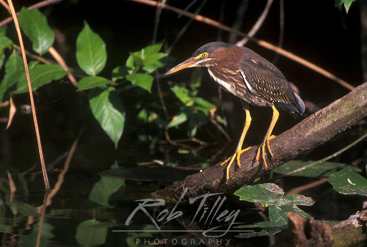 Green Heron, Evergalades NP, Florida, USA