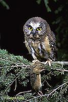 OW03-027z  Saw-whet owl - immature owl with jumping mouse prey - Aegolius acadicus
