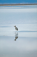 Great Blue Heron with fish. Lower Klamath Fall National Wildlife Refuge. California