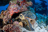 A Hawksbill turtle, Eretmochelys imbricata, an endangered species, stares at the camer while feeding on the reef. Palau, Micronesia, Pacific Ocean