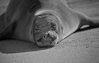 A female Hawaiian monk seal naps on a beach, North Shore, O'ahu.