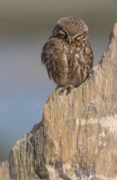 Little Owl, Athene noctua,adult on rock, Samos, Greek Island, Greece, Europe