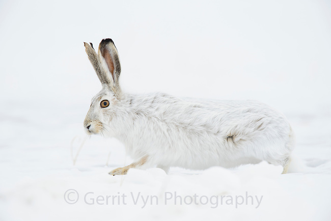 White-tailed Jackrabbit (Lepus townsendii) camouflaged in its winter coat. Sweetwater County, Wyoming. January.