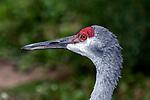 Sandhill Crane close-up of face