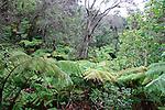 Rainforest, Thurston Lava Tube, Hawaii