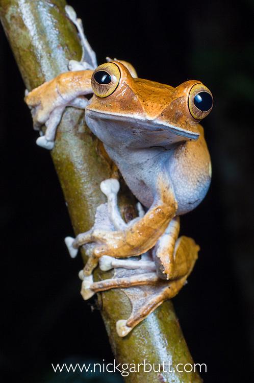 Madagascar Tree Frog (Boophis madagascariensis) at night. Marojejy National Park, north eastern Madagascar.