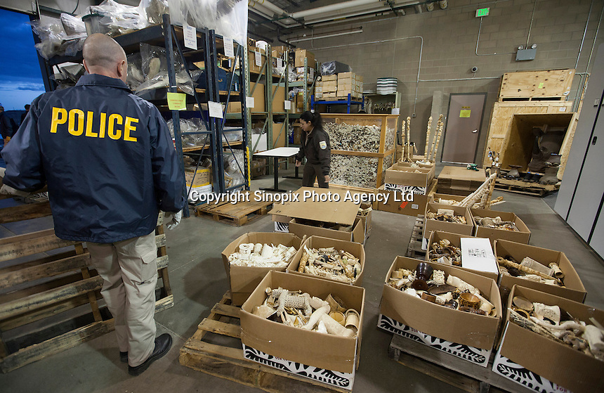 Confiscated ivory tusks, estimated by US wildlife officials to be from around 2,000 elephants, are seen at the National Wildlife Property Repository, 13 November 2013, Denver, Colorado, United States, 14 November 2013. The United States Fish and Wildlife Service is set to destroy their entire stockpile of seized ivory dating back to the 1980's by using a rock crushing machine to send a strong signal to poachers in Africa, and consumers in Asia and the United States, that the US government will not tolerate ivory trafficking. Elephant populations are in steep decline due to poaching and rampant demand, mostly from China, but also the US. The US confiscated ivory destruction follows similar symbolic events in the Gabon, Kenya and Philippines.