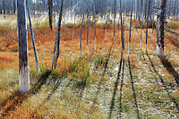 Thermal spring flowing through a misty meadow and dead trees in autumn, Yellowstone National Park, Wyoming, USA