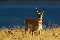 Pronghorn (Antilocapra americana) buck smelling for a doe in heat during the fall rut.  Western U.S.