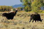 Bull Moose with Cow