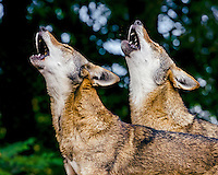 Red Wolves (Canis lupus rufus) howling.  Highly Endangered Species.  Found primarily in the Southeastern United States.  This photo taken at one of several captive breeding facilities for Red Wolves.