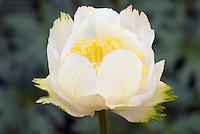 Trollius x cultorum 'Alabaster' White Globe Flower closeup detail
