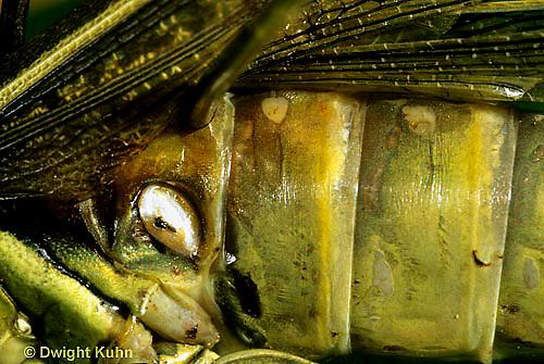 """OR01-026c  Grasshopper - auditory sac, short horned or """"true"""" grasshopper, two-striped grasshopper - Melanoplus bioittatus"""