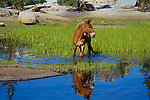 Bell Mule reflection and grazing in a marshy High Sierra Lake, John Muir WildernessCalifornia