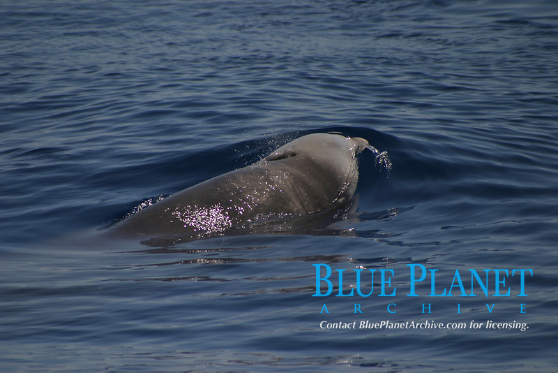Cuvier's beaked whale, Ziphius cavirostris, Azores Island, Portugal, North Atlantic