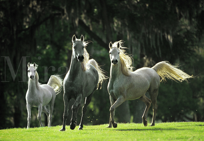 Alert grey Arabian horse mares trot with tails flagging.