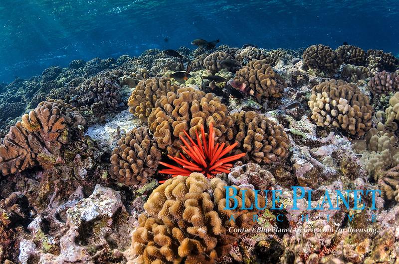 coral reef with a red slate pencil urchin, Heterocentrotus mamillatus, cauliflower coral, Pocillopora meandrina, Molokini, Maui, Hawaii, USA, Pacific Ocean