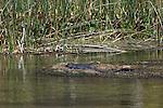 An American Alligator soaks up the sun.
