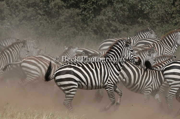 Zebras stirring up the dust in Africa