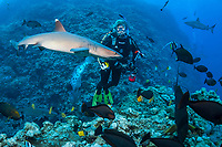White-tipped Reef Shark, Triaenodon obesus, and Diver, North Horn, Osprey Reef, Coral Sea Marine Park, Queensland, Australia, Coral Sea, Pacific Ocean, Coral Sea, South Pacific Ocean, MR