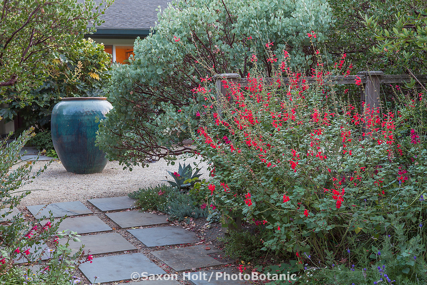 Salvia darcyi, Galeana Red Mexican Sage flowering by Whiteleaf Manzanita at entry to Kuzma Garden.  photo MUST be credited as Design by Sean Hogan.