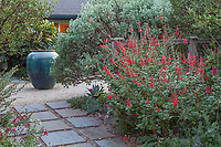 Salvia darcyi, Galeana Red Mexican Sage flowering by Whiteleaf Manzanita at entry to Kuzma Garden