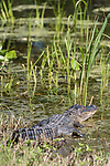 Brazoria County, Damon, Texas; an adult alligator sunning itself for warmth, while laying in the mud at the edge of the slough, in morning sunlight