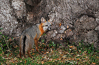 Gray Fox (Urocyon cinereoargenteus), adult at night by Live Oak tree (Quercus virginiana), Dinero, Lake Corpus Christi, South Texas, USA