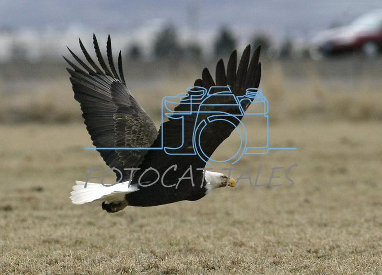 A bald eagle flies around a Minden, Nev. cattle ranch on Feb. 17, 2004..Photo by Cathleen Allison/Copyright Nevada Appeal