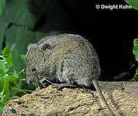 MU30-013z  Meadow Vole - Microtus pennsylvanicus