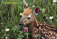 MA11-062z   White-tailed Deer - fawn - Odocoileus virginianus