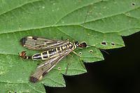 Skorpionsfliege, Skorpions-Fliege, Weibchen, Panorpa communis, common scorpionfly, Panorpidae, Skorpionsfliegen, scorpionflies