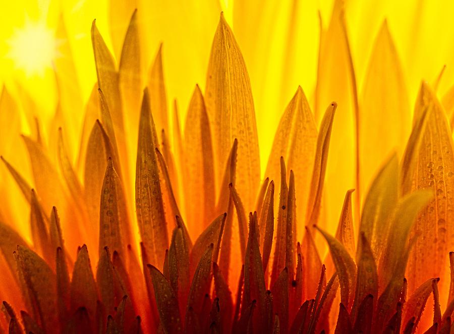 sunflower petals looking like flames