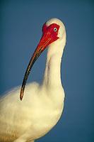 White Ibis, close-up of head. Ft. Myers Beach Florida, Estero Lagoon.