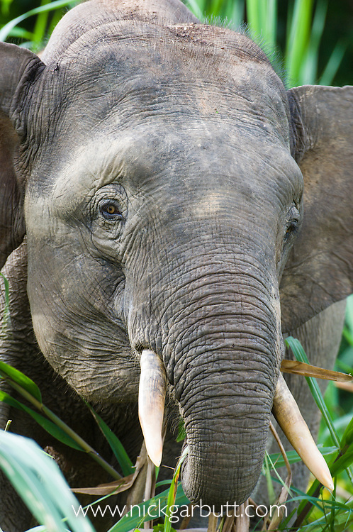 Young male Bornean Pygmy Elephant (Elephas maximus borneensis) feeding on river-side vegetation. Kinabatangan River, Sabah, Borneo.