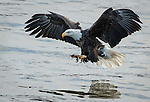 Adult Bald Eagle about to catch a fish in the river
