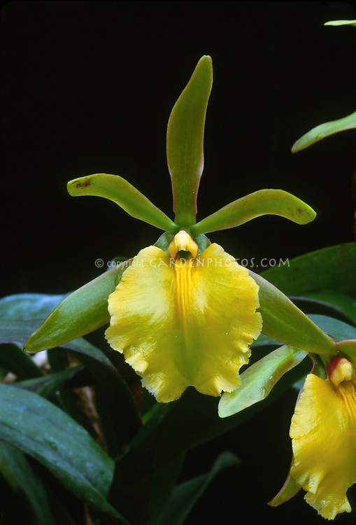 Rhynchodendrum Peggy Ann (primary orchid hybrid of Epidendrum pseudepidendrum x Rhyncolaelia glauca)