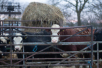 26-1-2021 Beef cattle in yards<br /> ©Tim Scrivener Photographer 07850 303986<br />      ....Covering Agriculture In The UK....