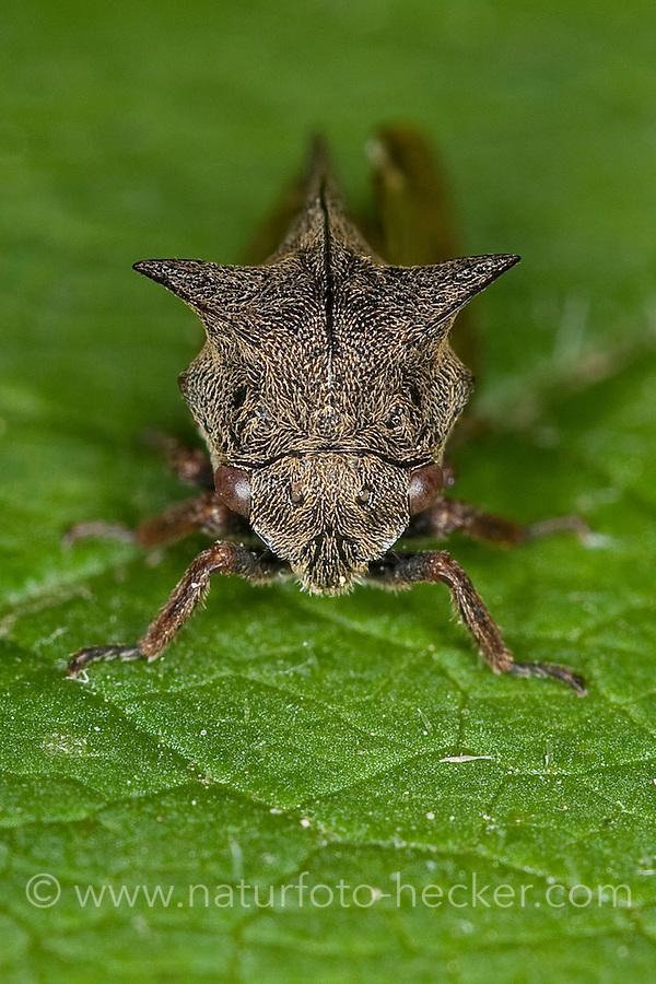 Dornzikade, Dorn-Zikade, Buckelzirpe, Buckel-Zirpe, Buckelzikade, Buckel-Zikade, Centrotus cornutus, horned treehopper