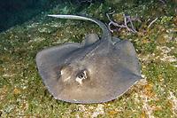Southern Stingray, Dasyatis americana, Fish Tales, Grand Bahama Bank, Bahamas, Northern Caribbean.