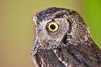 Western Screech Owl. Oregon High Desert Museum.