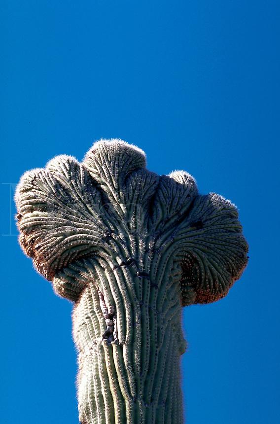 Close up of a rare 'crested' Saguaro Cactus (Cereus gigantes) - cause of cresting unknown. Sonoran Desert, Arizona.