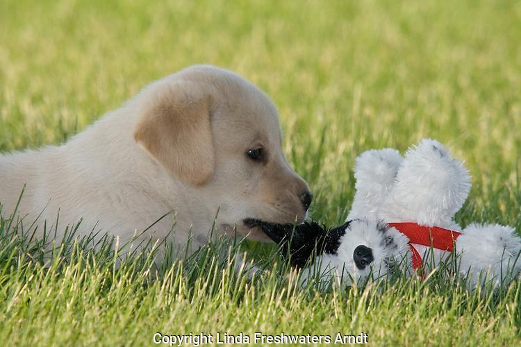 Yellow Labrador retriever (AKC) biting the ear of a stuffed dog
