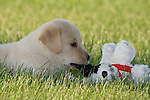 Yellow Labrador retriever (AKC) biting the ear of a stuffed dog
