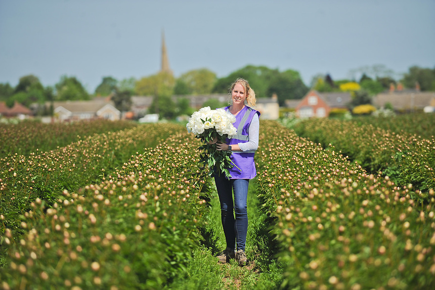 White Peonies being grown by Winchester Flowers in Pinchbeck,Lincs, for Waitrose.
