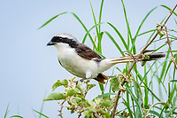 Northern White-crowned Shrike or White-rumped Shrike (Eurocephalus rueppelli), Seronera, Serengeti National Park, Tanzania, Africa
