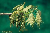 TT18-029a   Oak - catkins, new leaves - Quercus spp.